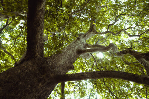 چوب درخت چنار