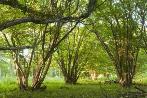 چوب درخت فندق