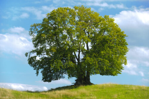 چوب درخت راش